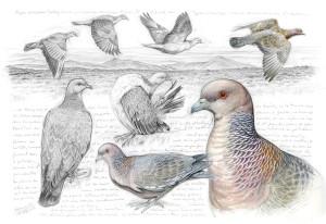 233-pigeon-picazuro-couleur(2000)