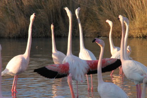 LCP FLAMANTS ROSES