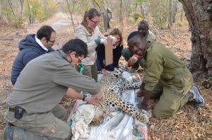 PU Volunteers & Leopard Capture 1