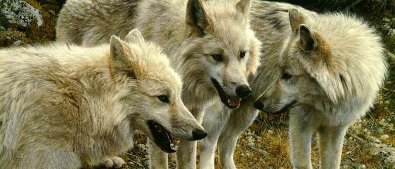 brenders-tundra-summit-arctic-wolves
