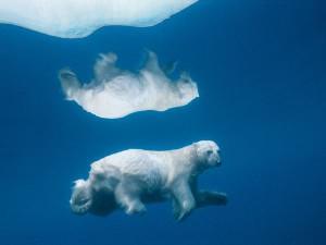 paul-nicklen-polar-bear_4049_600x450