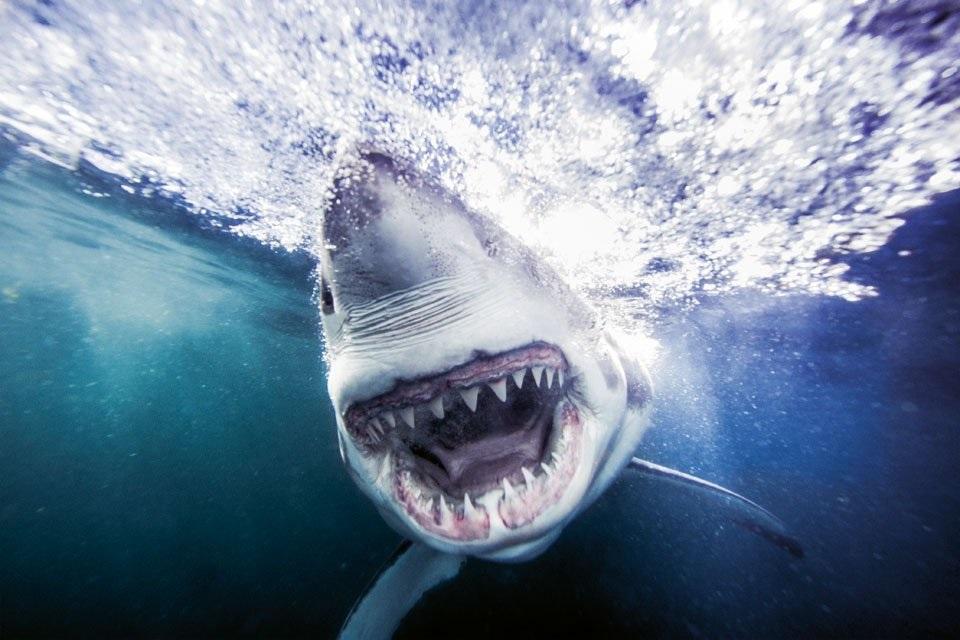 Requin Grand blanc_False_Bay_juin_12