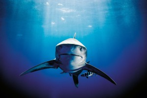 Requin longimane_Cap_Island_Bahamas_mars_2014