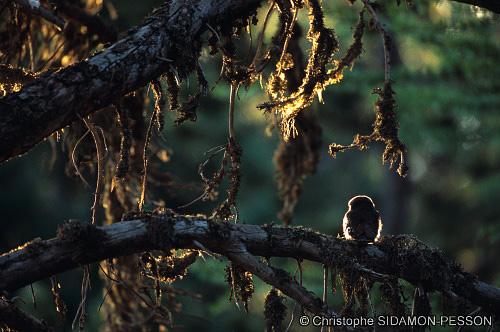 Chevchette d'Europe (Glaucidium passerinum)