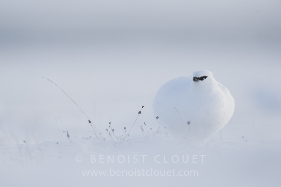 """Black eyes in white"" - Lagopède alpin du Svalbard (Perdrix des"