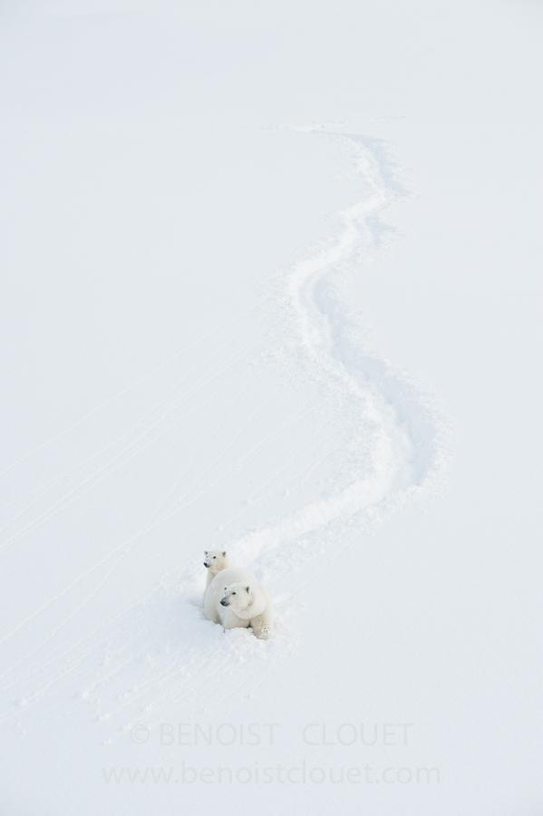 femelle ourse polaire et son jeune ourson en hiver / Mother polar bear and cub in Svalvard